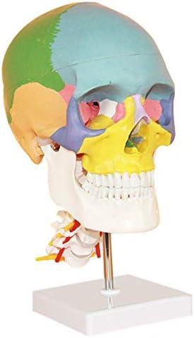 Anatomisch model van menselijke schedel Model van menselijke schedel met halswervel Model van anatomisch gekleurd schedel, laboratoriumbenodigdheden