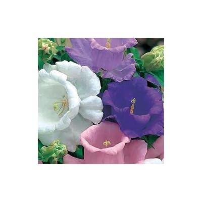 50+ Heirloom Campanula Canterbury Bells Perennial Flower Seeds Mix: Toys & Games