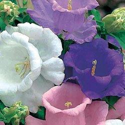 Campanula Plant (50+ Heirloom Campanula Canterbury Bells Perennial Flower Seeds Mix)