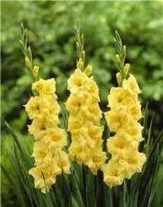 Gladiolus, amarillo Galdiolus bombillas, 1bombilla, un Gorgeous Flores para su jardín