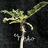 Prime 2pcs Rare boswellia Sacra Seeds Caudex Succulent Plant Seeds Rare Flower Seeds Home Garden Seeds Plant DIY
