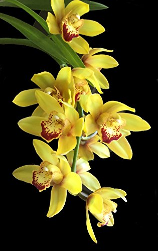 Orchid Insanity -- BEAUTY SOUND 'SCORPION' -- Cymbidium yellow blooms deep red lip pendulous hanging flower spike EASY TO GROW (NOT IN BLOOM WHEN SHIPPED)