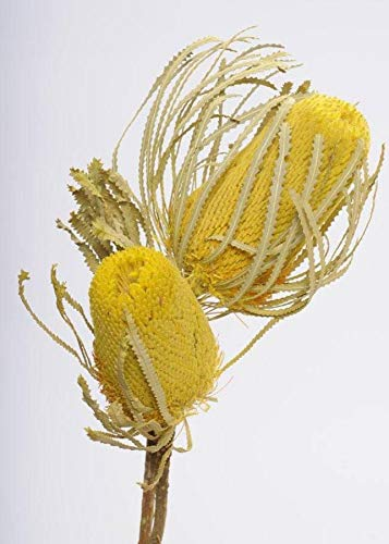 AFL001-1pc-Dried-Banksia-Protea-2-Pack