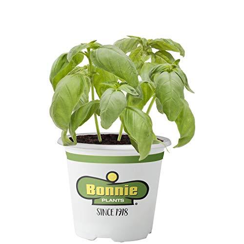 Bonnie Plants 5010 Sweet Basil Herb -