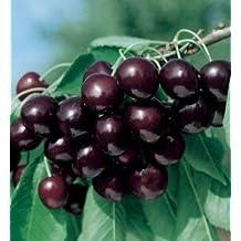 Prunus serotina subsp. serotina - Black Cherry - 20 seeds