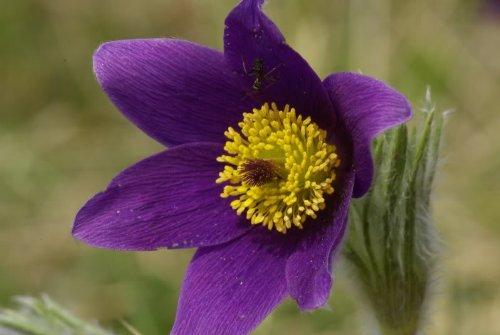 (25 VIOLET ANEMONE Pulsatilla Vulgaris / PURPLE PASQUE FLOWER Seeds *Comb S/H)