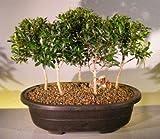 Bonsai Boy's Flowering Brush Cherry Bonsai Tree Five Tree Forest Group eugenia myrtifolia