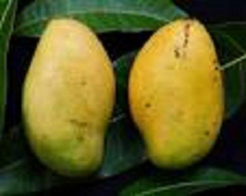 mango fruit tree - 9
