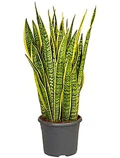 Zimmerpflanzen Sonniger Standort bogenhanf natcha 60 75 cm im 19 cm topf unempfindliche zimmerpflanze
