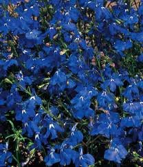 Amazoncom 600 Seeds Lobelia Midnight Blue Garden Outdoor