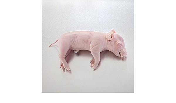 Size: 10-13; Injection: Double LS03789 Dissection /& Science Education Materials Nasco Fetal Pig