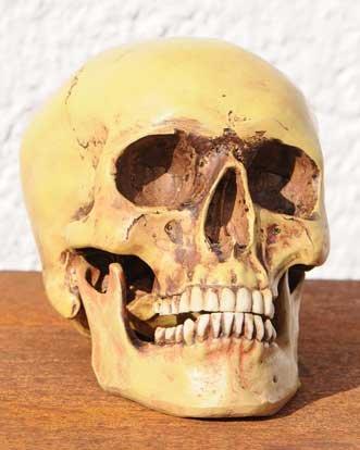 Set:Anatomie Schädel , Totenkopf, Anatomieschädel,Menschenschädel ...