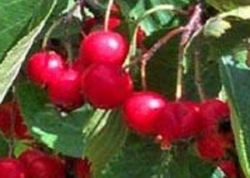 - Columbiana Hawthorn tree seedling edible fruit berry ornamental LIVE PLANT