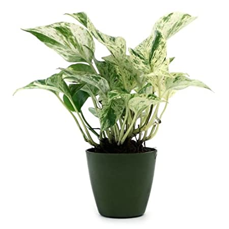 Exotic Green White Pothose Hybrid, Natural Indoor Plant Indoor Plants at amazon