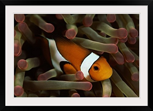 GreatBIGCanvas ''Underwater scene of Clown anemonefish (Amphiprion ocellaris) with sea anemones (Heteractis magnifica), Sulawesi, Indonesia'' Photographic Print with Black Frame, 36'' x 24'' by greatBIGcanvas