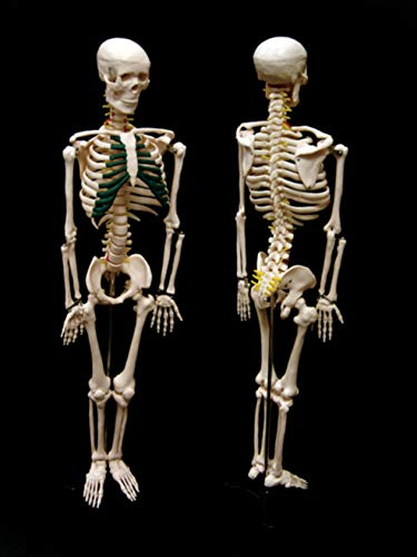 34 Height 34 Height 7-1413 American Educational Skeleton Model with Nerves
