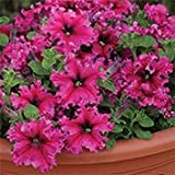 Fash Lady 30+ Petunia GRANDIFLORA Expresso Frappe Rose Flower Seeds/Annual