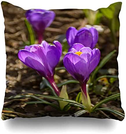 Ahawoso Throw Pillow Cover Pillowcase Square 20x20 First Spring Purple St Flowers Crocuses Saffron Garden in Nature Petersburg Flowering Bud Objects Decorative Cushion Case Home Decor Pillowslip