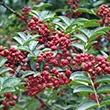 10 Seeds Zanthoxylum bungeanum Sichuan Pepper Tree