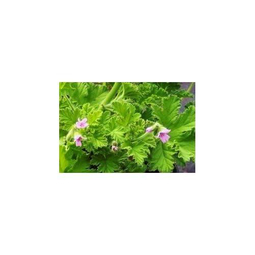 Attar of Rose Scented Geranium Live Plant