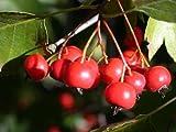 Washington Hawthorn, Crataegus Phaenopyrum, Tree 50 Seeds