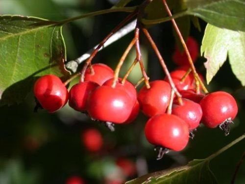 Washington Hawthorn, Crataegus Phaenopyrum, Tree 50 Seeds -