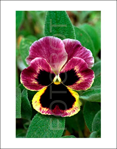 Purple Yellow Pansy Garden Flower Limited Edition Photo Print ()