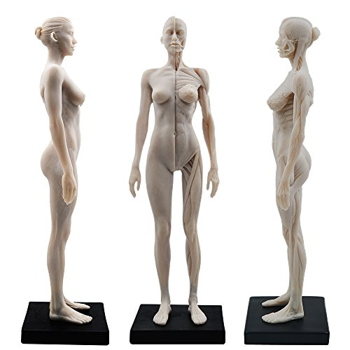 - 11inch Resin Female Human Body Musculoskeletal Anatomical Model CG Painting Sculpture 1:6 White