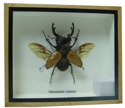 Wings Framed - Real Exotic Stag Beetle (Odontolobis Elegans) Open Wings - taxidermy insect bug collection framed in a wooden box as pictured