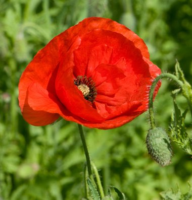 David's Garden Seeds Flower Poppy Corn D1611 (Red) 1000 Open Pollinated Seeds