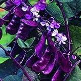 Outsidepride Purple Hyacinth Bean Red Leaved Vine
