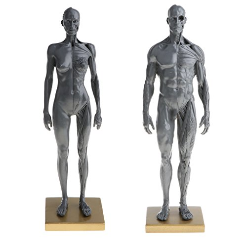 Muscles Skeleton Human (Baoblaze 11 inch Female & Male Anatomy Model Muscle and Skeleton Anatomical Study Kit - Gray)