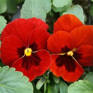 Outsidepride Pansy Alpenglow Flower Seed - 1000 Seeds