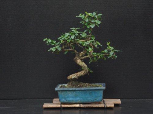 (Fukien Tea Bonsai Flowering Plant 10