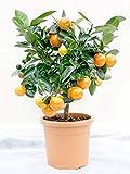 Shop Meeko Calamondin Standard (Miniature Orange) Plant