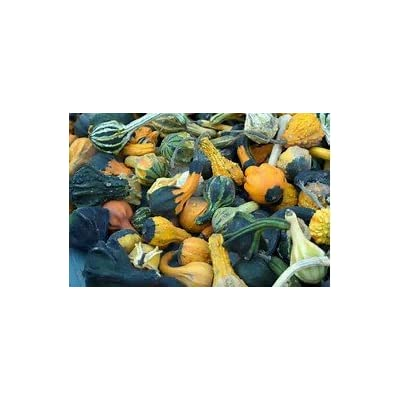 Gourd Large Mix Great Heirloom Vegetable by Seed Kingdom Bulk 1/4 Lb Seeds : Garden & Outdoor