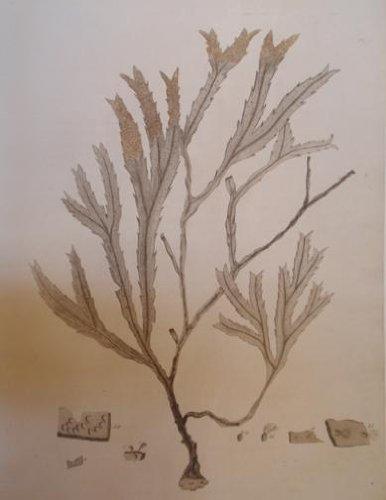 pl. I (coral) ()