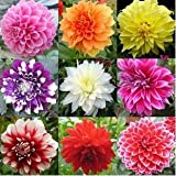 Plentree 100pcs Dinner Plate Rainbow Dahlia, Flower Many Colors to Choose, for Home Garden ting, Feer Shipping: Mix