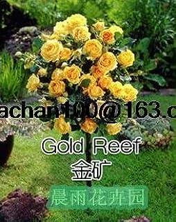 Rosal de color rosa en maceta de tipo jardín balcón 100 semillas de flores: Amazon.es: Jardín