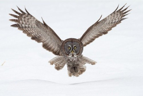 great gray owl glossy poster