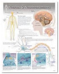 Neurons & Neurotransmitters Wall Chart: 8271 (Physiology)