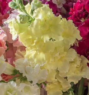 (Snapdragon Madame Butterfly Yellow 500 seeds)