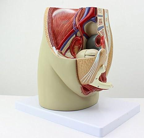 Amazon | 生殖器 実物大 模型 男性器 女性器 人体模型 医療、家庭用 ...