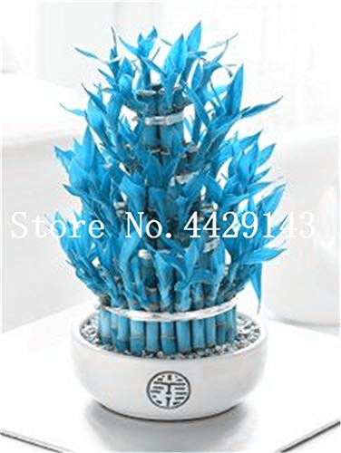Blue Bamboo Tree (Shopmeeko Genuine Rare 50 Pcs Blue Bamboo Bonsai Anti Radiation Absorb Dust Tree Potted Pnat for Home Garden Ornamental Bonsai: 6)