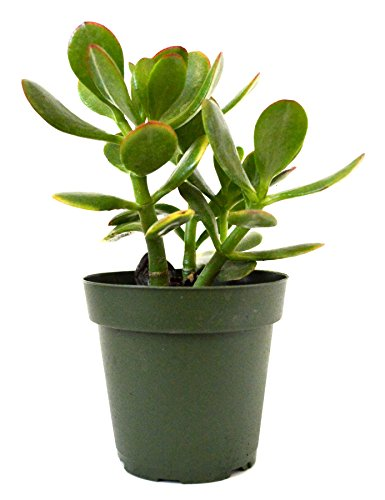 - 9GreenBox - Jade Plant, Crassula ovata - 4