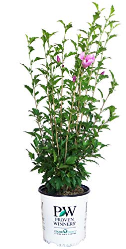 (Proven Winners - Hibiscus syriacus Purple Pillar (Rose of Sharon) Shrub, purple flowers, #2 - Size Container )