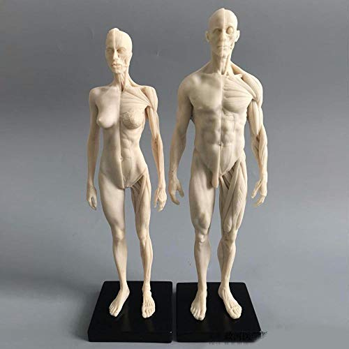 11inch Human Anatomical Model Art Mannequin Musculoskeletal Structure of Painting Sculpture White Body (Male+Female )]()