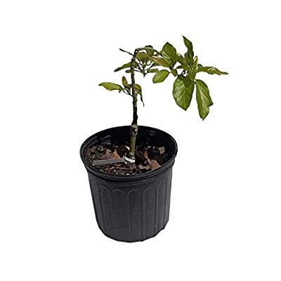 Catalina Avoado Tree, Grafted, 2 Feet Tall, 3 Gal Container from Florida : Garden & Outdoor