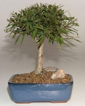 Willow Leaf Ficus Bonsai Tree-Medium.(Ficus Nerifolia/Salisafolia)