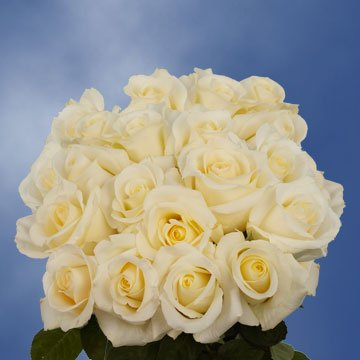 GlobalRose 75 Fresh Cut White Wedding Roses Long Stem - Blizzard Roses - Fresh Flowers Express Delivery - Perfect for Weddings, Anniversary or any occasion.